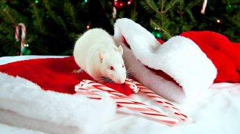 Baltosios Žiurkės metai